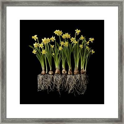 Daffodil Plants On Black Background Framed Print by William Turner