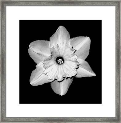 'daffodil Portrait' Framed Print