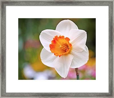 Daffodil  Framed Print by Rona Black