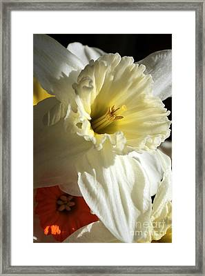 Daffodil Still Life Framed Print by Kenny Glotfelty