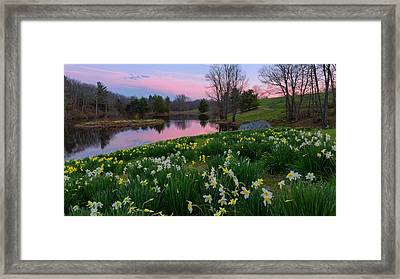 Daffodil Sunset Framed Print by Bill Wakeley