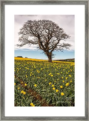 Daffodil Valley Framed Print by Adrian Evans