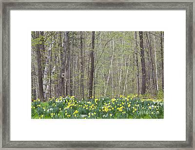 Daffodil Woods Framed Print