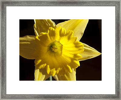 Framed Print featuring the photograph Daffodile by Haleh Mahbod