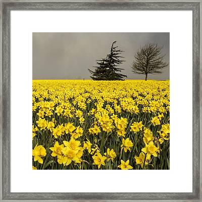 Daffodils A Plenty Framed Print