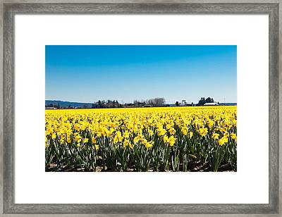 Daffodils And Blue Skies Framed Print