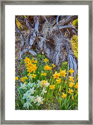 Daffodils And Sculpture Framed Print by Omaste Witkowski