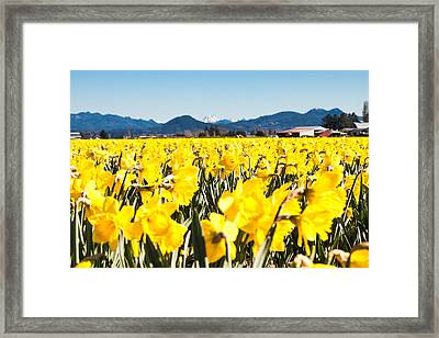 Daffodils And Snow-capped Mountains Framed Print