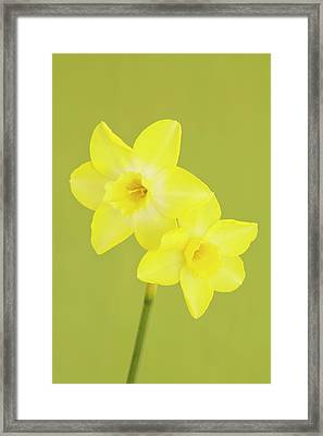 Daffodils Framed Print by Ann Pickford