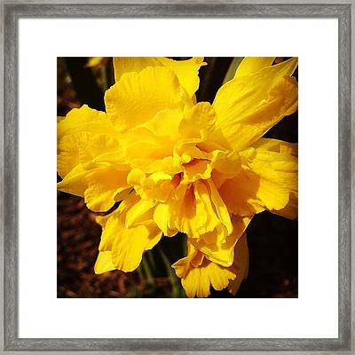 Daffodils Are Blooming Framed Print