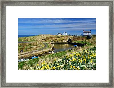 Seaton Sluice Harbour Daffodils Framed Print