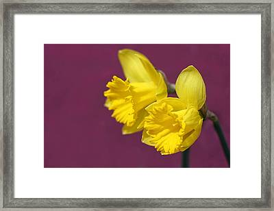 Framed Print featuring the photograph Daffodils by Barbara West