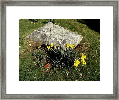 Daffodils By A Rock Framed Print by Kate Gallagher