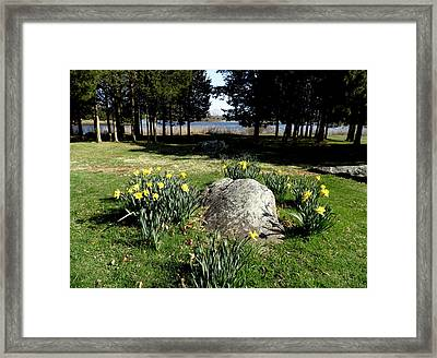 Daffodils By The Bay Framed Print by Kate Gallagher