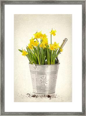 Daffodils Framed Print by Amanda Elwell