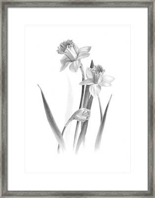 Daffodils Framed Print by Diane Cardaci