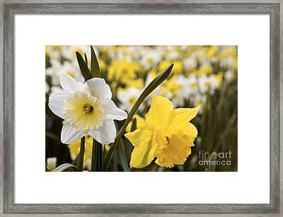 Daffodils Flowering Framed Print