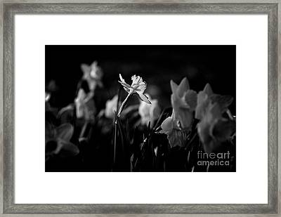 Daffodils In Black And White Framed Print