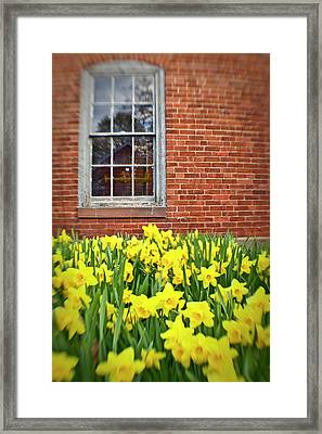 Daffodils In Portsmouth, New Hampshire Framed Print