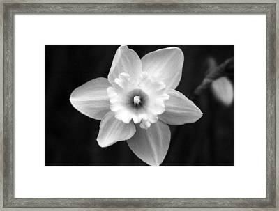 Daffodils - Infrared 01 Framed Print by Pamela Critchlow