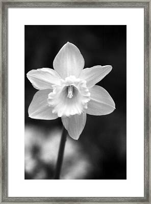 Daffodils - Infrared 10 Framed Print by Pamela Critchlow