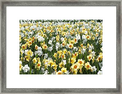 Framed Print featuring the photograph Daffodils by Lana Enderle