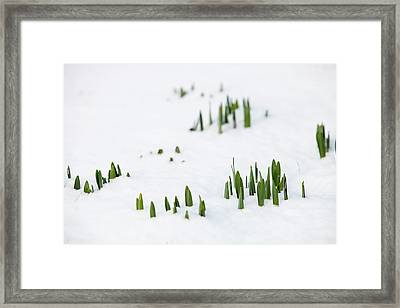 Daffodils Pushing Up Through The Snow Framed Print by Ashley Cooper