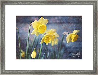Framed Print featuring the photograph Daffodils by Sylvia Cook
