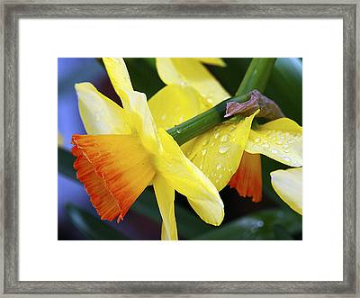 Framed Print featuring the photograph Daffodils With Rain by Joe Schofield