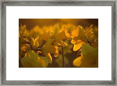 Daffs At Sunset Framed Print by Chris Fletcher