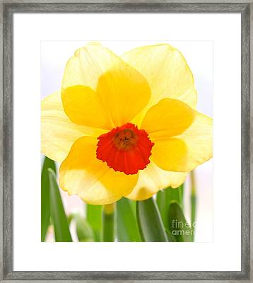 Daffy Framed Print by Jay Nodianos