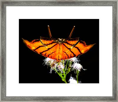 Daggerwing Fire Framed Print by Mark Andrew Thomas
