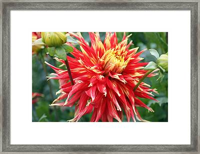 Framed Print featuring the photograph Dahlia 1 by Gerry Bates