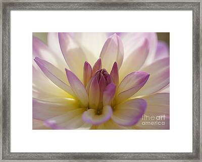 Framed Print featuring the photograph Dahlia 1 by Rudi Prott