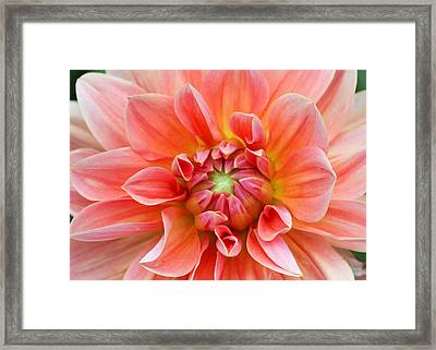 Dahlia 2 Framed Print by Gerry Bates