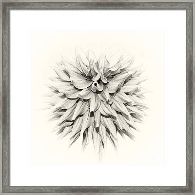 Dahlia 2 Framed Print by Janet Burdon
