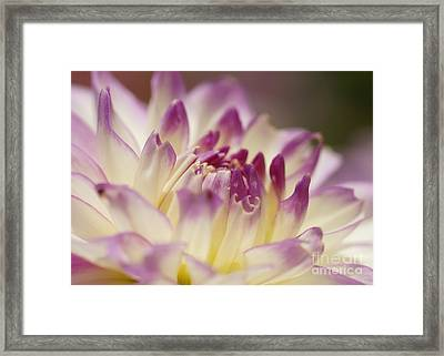 Framed Print featuring the photograph Dahlia 2 by Rudi Prott