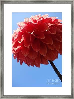 Dahlia #3 Framed Print