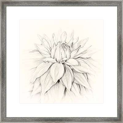 Dahlia 3 Framed Print by Janet Burdon