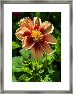 Dahlia 4 Framed Print