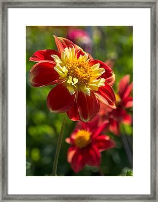 Dahlia 5 Framed Print