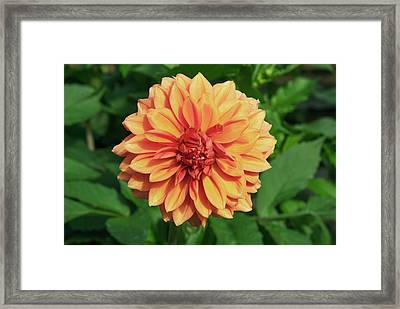 Dahlia 'askwith Lorie' Framed Print by Adrian Thomas/science Photo Library