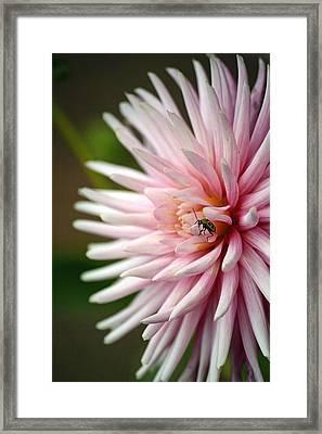 Dahlia Bug Framed Print