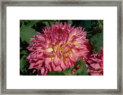 Framed Print featuring the photograph Dahlia by Christiane Hellner-OBrien