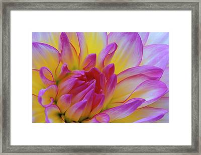 Dahlia Close-up Credit Framed Print by Jaynes Gallery