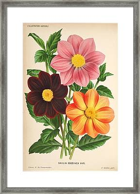 Dahlia Coccinea From A Begian Book Of Flora. Framed Print