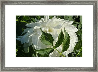 Dahlia Delicate Dancer Framed Print by Susan Garren