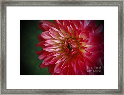 Dahlia Delight Framed Print by Inspired Nature Photography Fine Art Photography