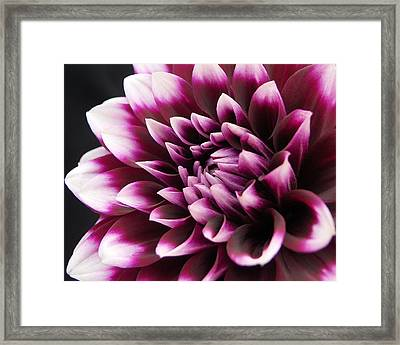 Dahlia Delightful Framed Print by Kathi Mirto