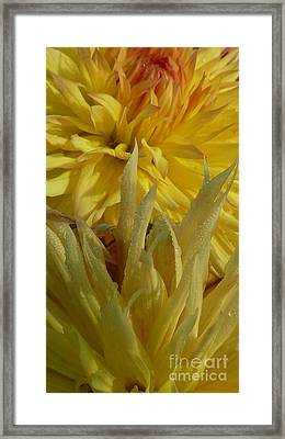 Dahlia Dew Yellow Framed Print by Susan Garren